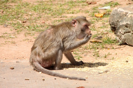 Long-tailed Macaque or crab-eating monkey in tropical rain forest park is eating dried yellow noodle photo