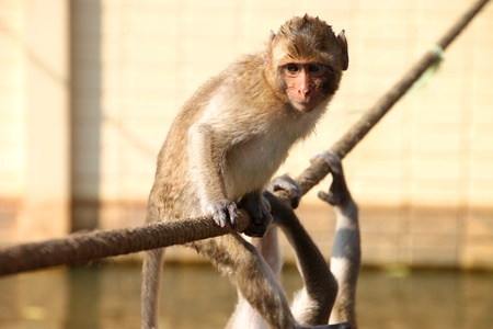 Crab-eating monkey or Long-tailed Macaque in tropical rain forest park is on bridge rope photo