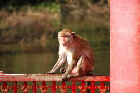 Crab-eating monkey or Long-tailed Macaque in tropical rain forest park is on metal gate fence photo