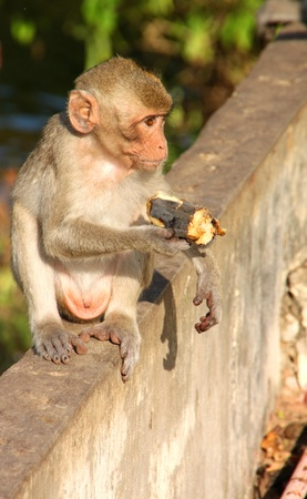 Crab-eating monkey or Long-tailed Macaque in tropical rain forest park is sitting on the wall and holding ripe banana in hand photo