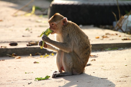 Crab-eating monkey or Long-tailed Macaque in tropical rain forest park is sitting on the floor and eating  green vegetable leaf  photo