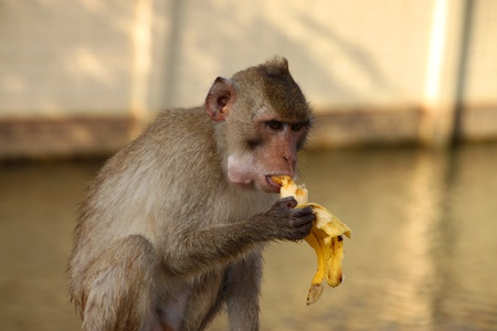 Crab-eating monkey or Long-tailed Macaque in tropical rain forest park is sitting and eating ripe yellow banana photo