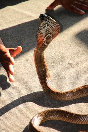 a picture of king cobra snake ready for rapid strike stock photo