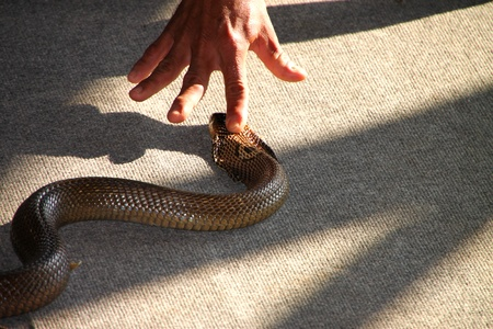 snake head: Forefinger is intimidating over king cobra snake head