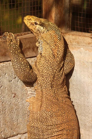 salvator: A picture of Varanus salvator in the cage Stock Photo