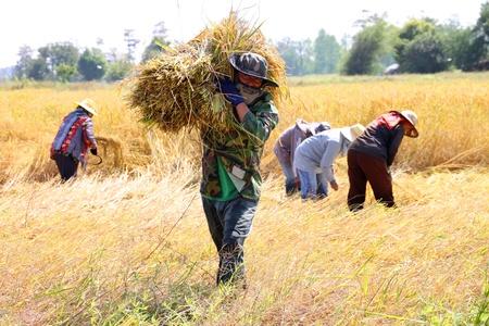 BORABUE, Mahasarakam, THA�LANDE - 14 novembre: Le groupe non identifi� des agriculteurs sont � l'?uvre dans mode de vie traditionnel au moment de la r�colte dans le champ de riz au jasmin le 14 Novembre 2011 � Borabue, Mahasarakam, Tha�lande.