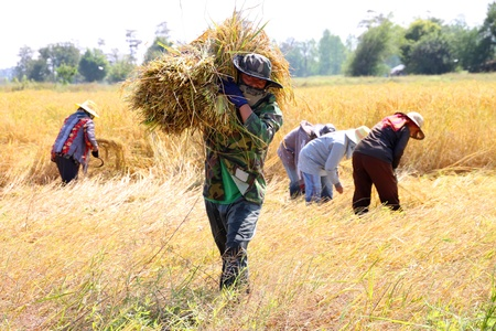 BORABUE, MAHASARAKAM, THAILAND - NOVEMBER 14 : The unidentified group of farmers are at work in traditional way of life at the harvest time in jasmine rice field on November 14, 2011 at Borabue, Mahasarakam, Thailand.