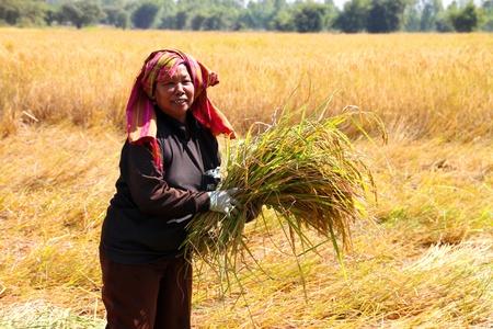 BORABUE, MAHASARAKAM, Tha�lande - 14 novembre: Le fermier non identifi� est � l'?uvre dans mode de vie traditionnel au moment de la r�colte dans le champ de riz au jasmin le 14 Novembre 2011 � Borabue, Mahasarakam, en Tha�lande.