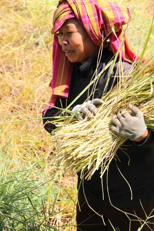 BORABUE, MAHASARAKAM, THAILAND - NOVEMBER 14 : The unidentified farmer is at work in traditional way of life at the harvest time in jasmine rice field on November 14, 2011 at Borabue, Mahasarakam, Thailand.