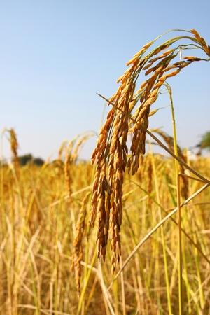 Image de l'oreille de riz au jasmin dans un champ de riz en milieu rural