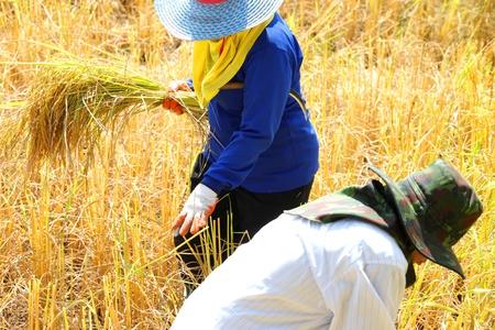 Les agriculteurs sont � l'?uvre dans le champ de riz au jasmin dans les terres agricoles rurales tropicales au moment de la r�colte Banque d'images