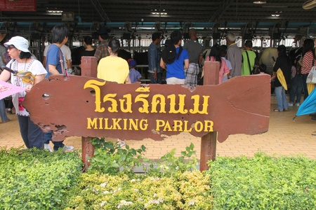 PAK CHONG, KORAT, THAILAND - JANUARY 15 : The unidentified tourists are visiting milking parlor on January 15, 2012 at Chok Chai Farm, Pak Chong, Korat, Thailand. Stock Photo - 11987849