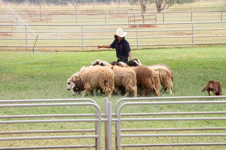 PAK CHONG, KORAT, THAILAND - JANUARY 15 : The unidentified cowboy is showing tourists how to use dog in round up sheeps on January 15, 2012 at Chok Chai Farm, Pak Chong, Korat, Thailand.
