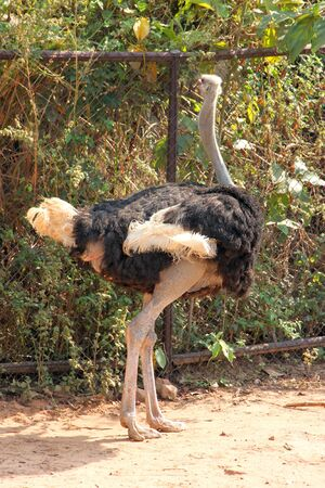 saun: An ostrich is standing in a cage of Khao Saun Kwang Zoo, Khon Khan, Thailand.
