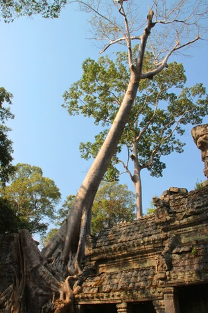 Tree on building in ancient Khmer architecture, Prasat Praeh Khan photo