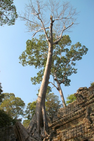 thom: Tree on building in ancient Khmer architecture, Prasat Praeh Khan