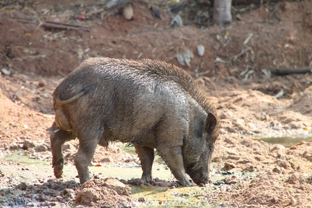 A wild pig is relax playing mud photo