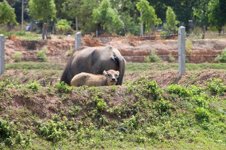 dry cow: Young buffalo is in green grass field and stay near its mother