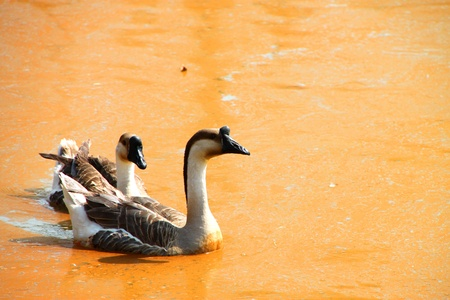 Two tropical tamed geese in the pond photo