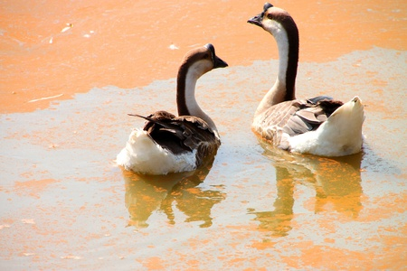 Two tropical tamed geese in the pond Stock Photo - 12909612