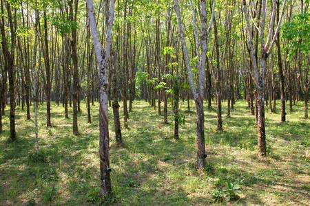 Para rubber tree garden in East of Thailand