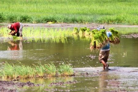 jasmine rice: Agricultores est�n creciendo arroz de jazm�n en las plantaciones.