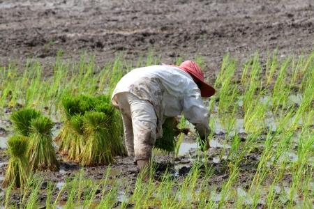 Farmer is growing jasmine rice in plantation.