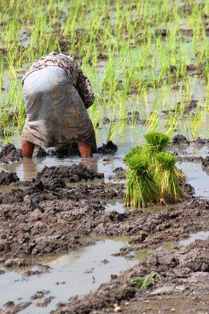 jasmine rice: Farmer es el cultivo de arroz de jazm�n en las plantaciones. Editorial