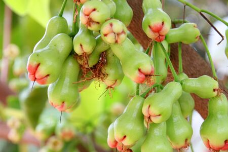 Green rose apples on tree photo