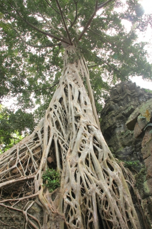 High tree in Ancieht Ta Prohm Prasat, Siamreap, Khmer Republic photo