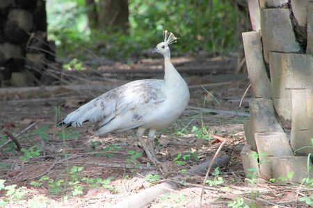 Female peafowl in tropical forest of Thailand photo