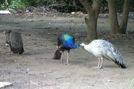 Peafowls in tropical forest of Thailand photo
