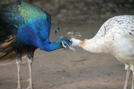 Peacocks in tropical forest of Thailand photo