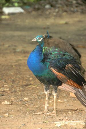 A peacock in tropical forest of Thailand photo