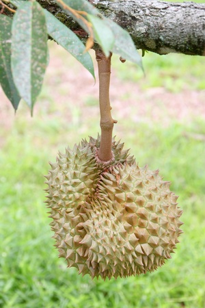 l nutrient: Durian from rural farmland of East of Thailand