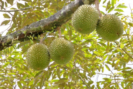 Durians from rural farmland of East of Thailand