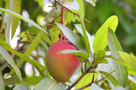 Mangifera coloneura Kurz, Wild mango of tropical Thailand photo