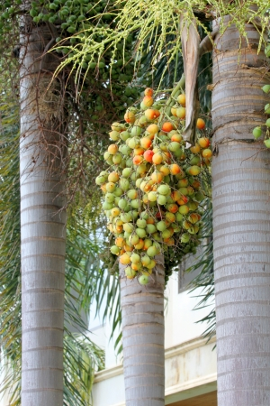 Betel nuts - Areca catechu Linn. photo