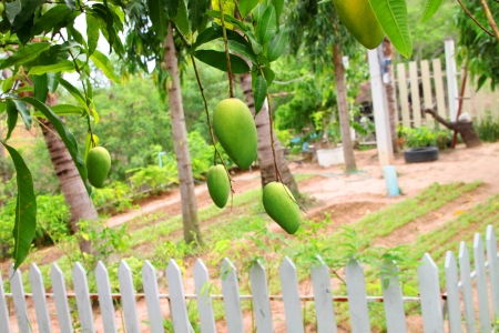 Mango tree in garden that full of fruits photo