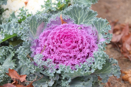 bedeck: Decorative cabbages for outdoor home and garden ornament