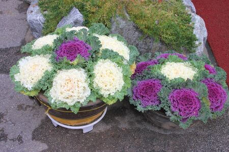 Decorative cabbages for outdoor home and garden ornament photo