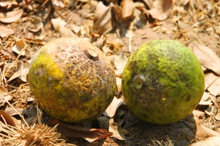 Bael fruit, Aegle marmelos (L.) Corr Stock Photo - 15214498