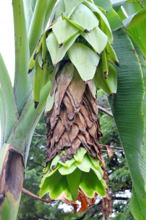 Tipo de pl�tanos - Ensete glauca Roxb. photo