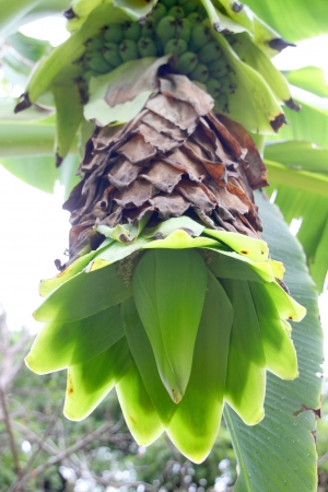 Kind of bananas - Ensete glauca Roxb. photo