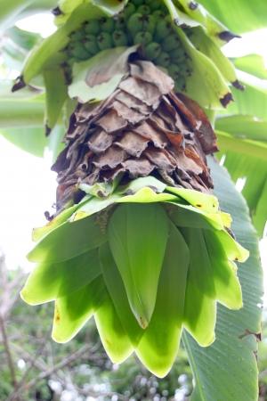 Type de bananes - Ensete glauca Roxb.