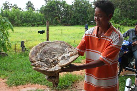 MUANG, MAHASARAKHAM - SEPTEMBER 2 : Unidentified man is showing super big mushrooms from wild forest on September 2, 2012 at Ban Suan Oi, Bua Kor, Mahasarakham, Thailand. Stock Photo - 15079707