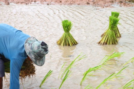 plough land: Growing rice in September, the last month to growing rice in season of Thailand