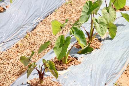 esculenta: Dasheen - Colocasia esculenta Schott