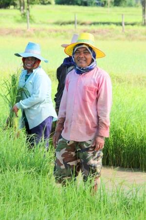 cooperativismo: MUANG, MAHASARAKHAM - 10 DE SEPTIEMBRE: los campesinos no identificados se encuentran en cooperativa en el trabajo el 10 de septiembre de 2012 a campos de arroz local, Bua Kor, Muang, Mahasarakham, Tailandia.