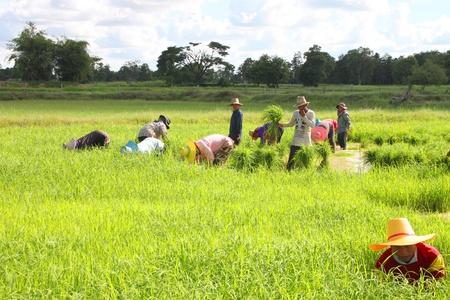 cooperativa: MUANG, MAHASARAKHAM - 10 DE SEPTIEMBRE: los campesinos no identificados se encuentran en cooperativa en el trabajo el 10 de septiembre de 2012 a campos de arroz local, Bua Kor, Muang, Mahasarakham, Tailandia.